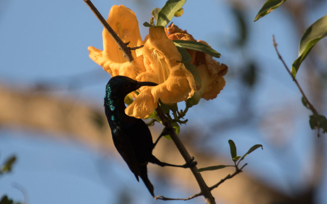 Rohida Flowers And The Nectar Robber Sunbird: An Interesting Story Of Pollination