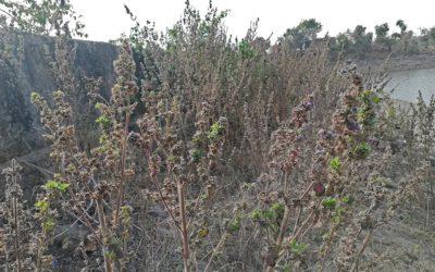 राजस्थान में फैलने वाली नयी विदेशी वनस्पतियां
