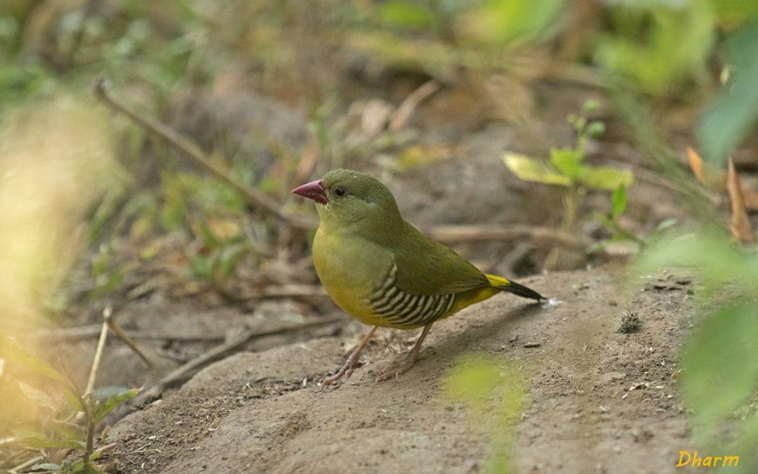 ग्रीन मुनिया: भारत की संकटग्रस्त एवं स्थानिक पक्षी