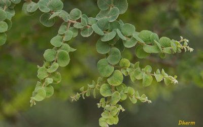 राजस्थान की एंडेमिक वनस्पति प्रजातियां