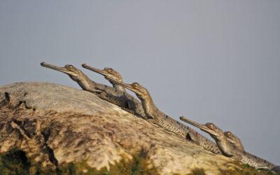 National Chambal Sanctuary: Jurassic Park In The Anthropocene
