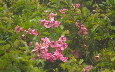 आबू पर्वत के गुलाबों का इतिहास