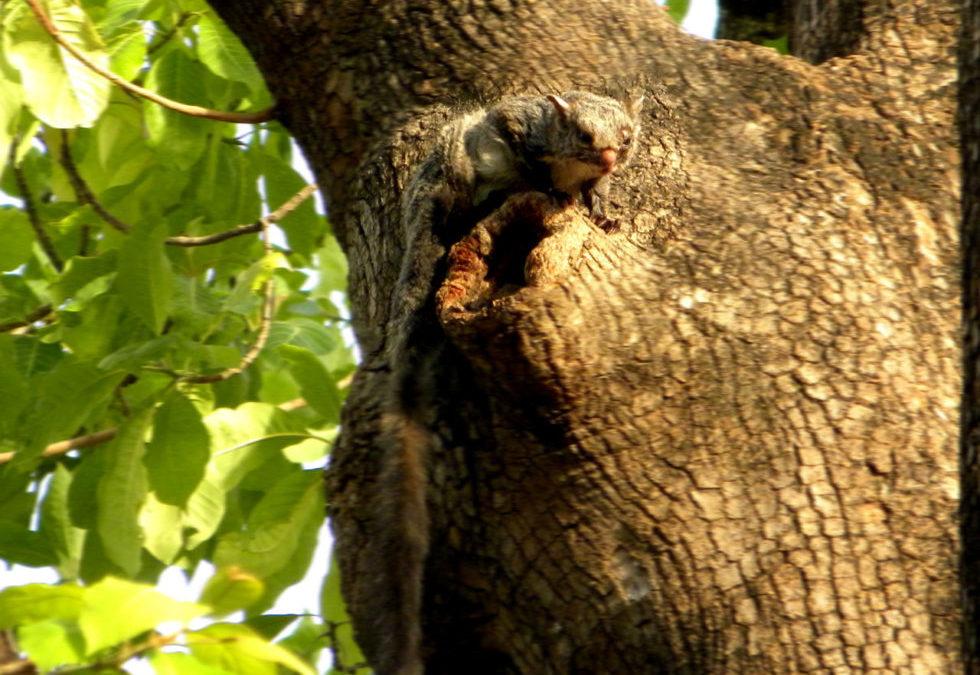 दक्षिणी राजस्थान में मिलने वाली उड़न गिलहरी