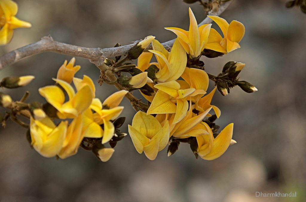 राजस्थान में पीले पुष्प वाले पलाश