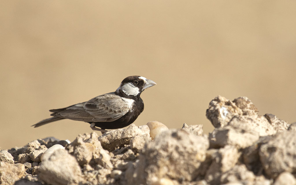 पारिस्थितिक तंत्र ने बदला पंछी का रंग : ब्लैक-क्राउंड स्पैरो-लार्क एवं ऐशी-क्राउंड स्पैरो-लार्क