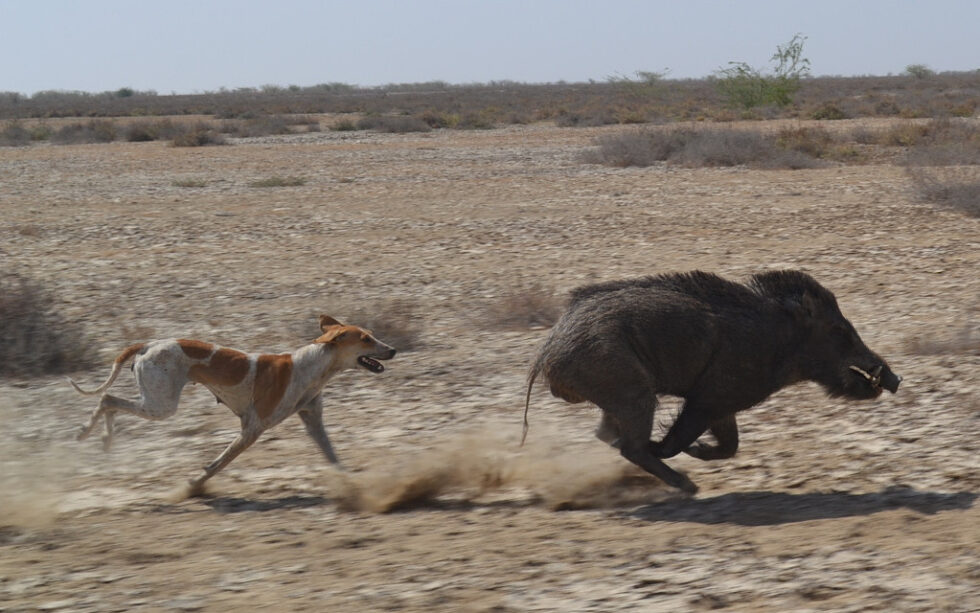 https://rajasthanbiodiversity.org/wp-content/uploads/2020/08/Dog-4-980x613.jpg
