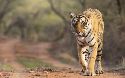 क्यों राजस्थान के विभिन्न क्षेत्रों में अधिक से अधिक बाघों के लिए घर बनाना चाहिए और उनमें ज़िम्मेदारी के साथ बाघों को स्थापित करना चाहिए?