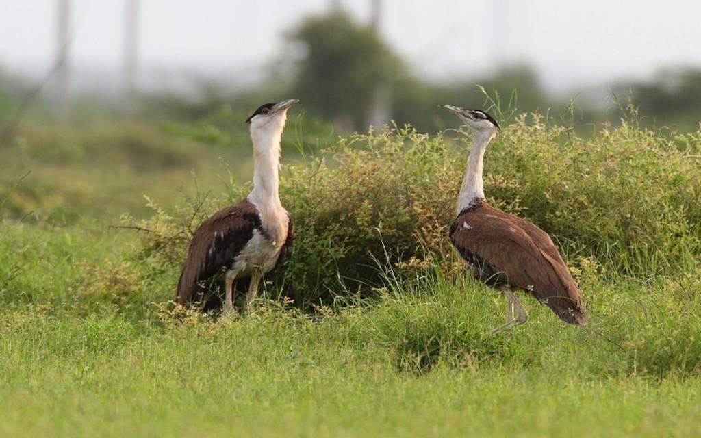 जाने, कैसे गोडावण खुद को शिकारी पक्षियों से बचाता है?