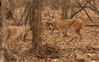 Diminishing Dominions: Revelations from a New Study on the Caracal in India