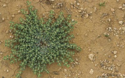Passive Plant Taxonomy With Special Reference To Rajasthan