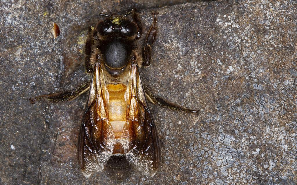 सरिस्का बाघ अभयारण्य में भामर मधुमक्खी पर एक अध्ययन