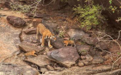 कैलादेवी अभ्यारण्य बाघों के लिए संभावनाओं की भूमि