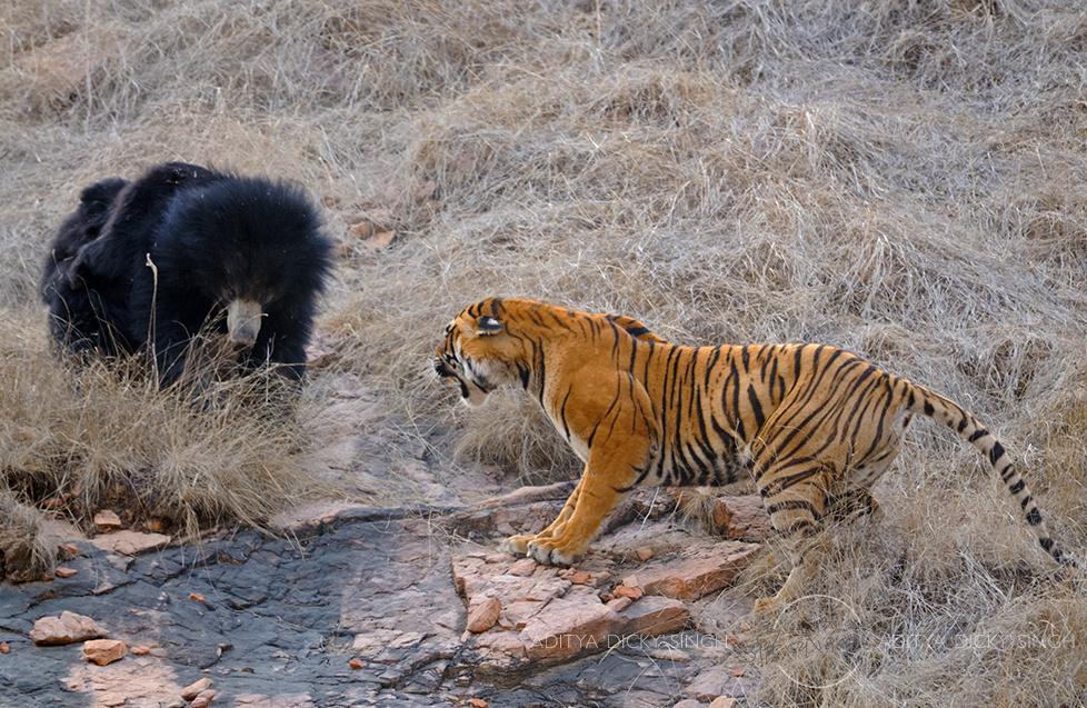 एक भालू माँ और बाघिन में संघर्ष