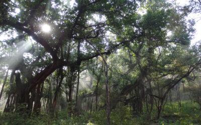 राजस्थान में विशाल आकार के वृक्ष, झाडियां एवं काष्ठ लतायेंः एक विवेचन
