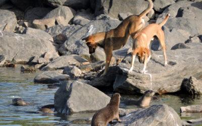 ऊदबिलाव और कुत्तों के बीच संघर्ष