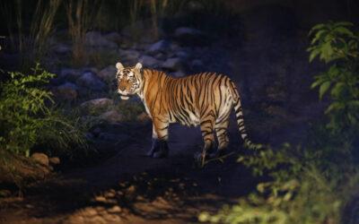 सरिस्का: आखिर क्या है टाइगर रिजर्व में बाघों की क्षेत्र सीमाओं का प्रारूप ?
