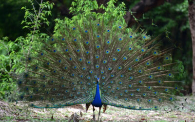 How to behave in a pandemic?- Some lessons from peafowl!!