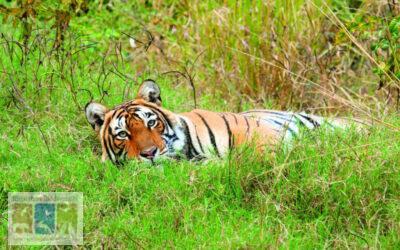 रणथम्भौर में अनाथ बाघ शावकों का संरक्षण