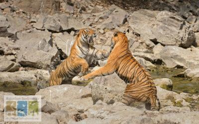 बाघों में जलश्रोतों के लिए लड़ाई