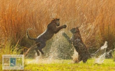 बाघ शावकों में खेल-खेल की लड़ाई